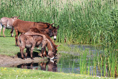 Donkeys drinking water Stock Images