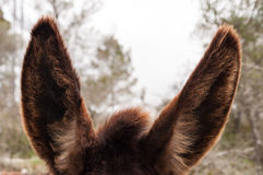 Donkeys ears. Foregraund of donkey ears with brown haired Stock Photography