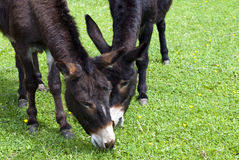 Donkeys eating Stock Images