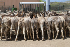 Donkeys eating Royalty Free Stock Photos