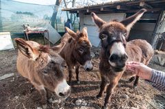 Donkeys eating on the farm Stock Image