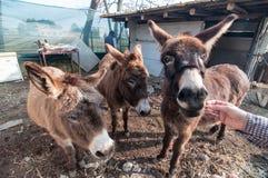 Donkeys eating on the farm Stock Image