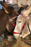 Donkeys Eating Hay. Beach Donkeys Eating Hay on Weston-Super-Mare beach royalty free stock images