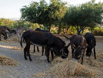 Donkeys eating hay; olive grove on the background royalty free stock images