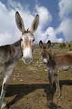 Donkeys , Equus africanus asinus Stock Image