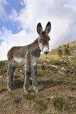 Donkeys , Equus africanus asinus Royalty Free Stock Image