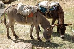 Donkeys in Ethiopia Stock Photo