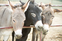 Donkeys on a farm Royalty Free Stock Images