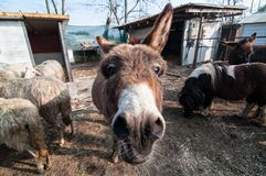 Donkeys on the farm Stock Images
