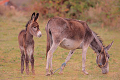 Donkeys on a farm Royalty Free Stock Photos