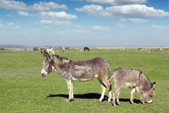 Donkeys and farm animals Royalty Free Stock Photo
