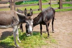 Donkeys on the farm Stock Images