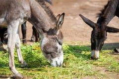 Donkeys eat grass Stock Photos