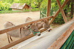 Donkeys on farm. Donkeys are hungry and wait on food Stock Photos