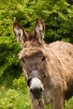 Donkeys on a farm. Near a village by Ohrid, Macedonia Royalty Free Stock Photo