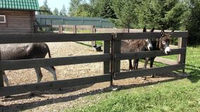 Donkeys in a farm pen. Curious donkeys peek out from the farm pen on a summer day stock video