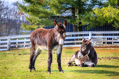 Donkeys on the farm Stock Photos