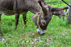 Donkeys feeding Royalty Free Stock Images