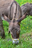 Donkeys feeding Stock Images