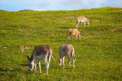 Donkeys feeding on green grass. Four donkeys feeding on green grass Royalty Free Stock Image
