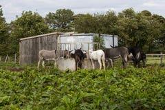 Donkeys feeding Stock Image