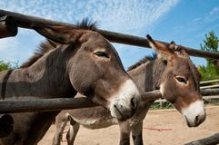 Donkeys in a fence Stock Photos