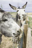 Donkeys on fence Stock Image