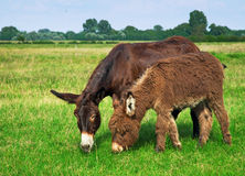 Donkeys in the field Royalty Free Stock Photo