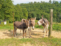 Donkeys in a field, closeup. Cute expressions. Royalty Free Stock Images