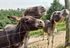 Donkeys in field. Stock Images