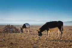 Donkeys in a field in Morocco Stock Image