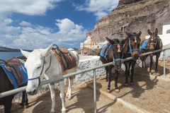 Donkeys in Fira Santorini Stock Photo
