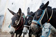 Donkeys in Fira on the Santorini island, Greece. Royalty Free Stock Image