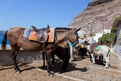 Donkeys in Fira on the Santorini island, Greece. They are a local symbol and take people, tourists to the port down the cliff Stock Image