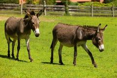 Donkeys free grazing Royalty Free Stock Photography