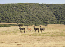 4 donkeys friends. Karpaz peninsula. Northern Cyprus Stock Images