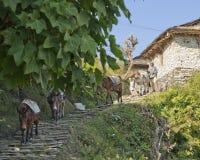 Donkeys at Gandruk. Pack Animals at Gandruk Village in Nepal Royalty Free Stock Photography