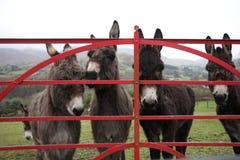Donkeys at gate in Ireland royalty free stock image