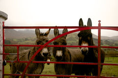 Donkeys at gate in Ireland Royalty Free Stock Photography