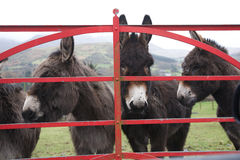Donkeys at gate in Ireland. On wet day stock images