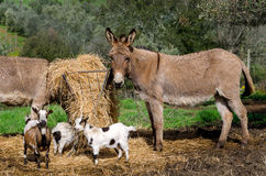Donkeys and goats in Tuscany Stock Images