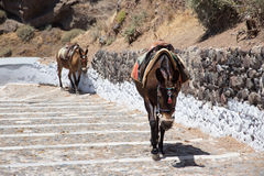 Donkeys going up stairs in Santorini, Greece Stock Photo