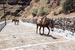 Donkeys going up stairs in Santorini, Greece Royalty Free Stock Photo