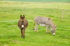 Donkeys in the grass. Brown and grey donkeys in the farmland Stock Image