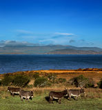 Donkeys graze on a field in County Kerry, Ireland Royalty Free Stock Images