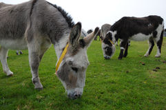 Donkeys grazing Stock Images