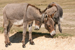 Donkeys grazing along a sand track Stock Photo