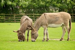 Donkeys Stock Images