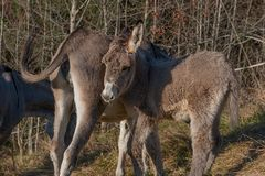 Donkeys. Grazing in freedom Royalty Free Stock Images