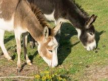 Donkeys grazing grass Stock Photo